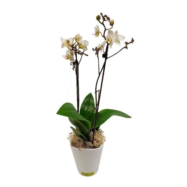 Phalaenopsis 9cm im Übertopf