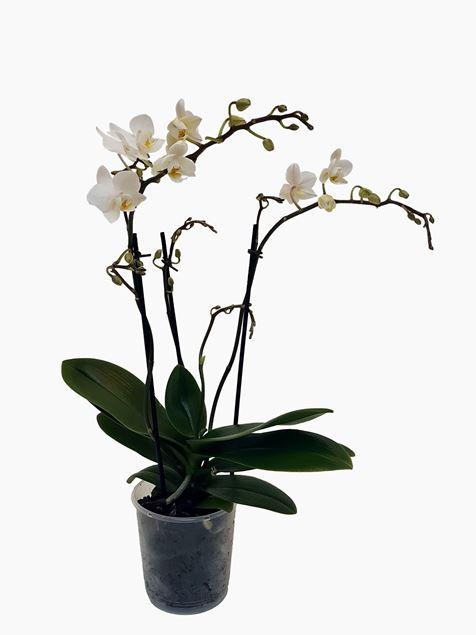 Phalaenopsis von Rutishauser