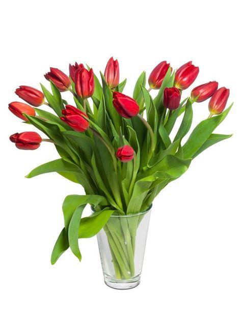 Schweizer Tulpen rot von Rutishauser (15er-Bund)