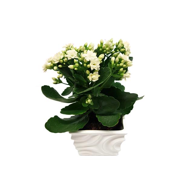 Image de Kalanchoé blanc dans le planteur