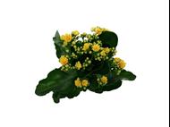 Bild von Kalanchoe gelb im Übertopf