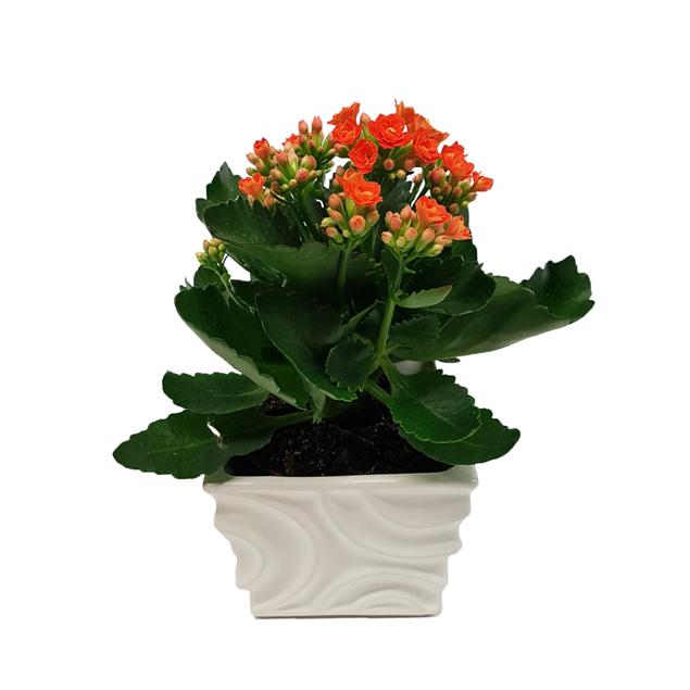 Image de Kalanchoé orange dans le planteur