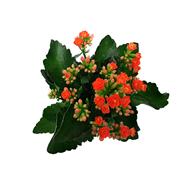 Bild von Kalanchoe orange im Übertopf