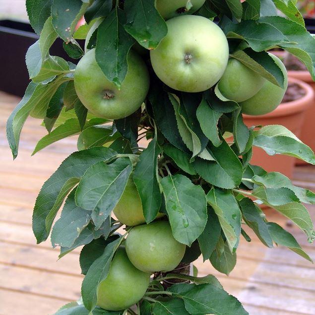 Bild von Mini-Apfel Baum GOLDIE cactus