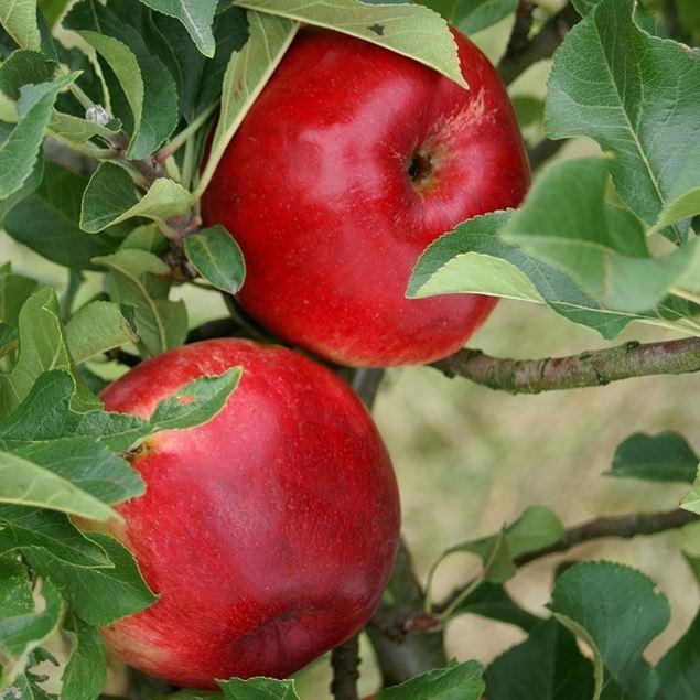 Bild von Mini-Apfel Baum MERLIN pidi