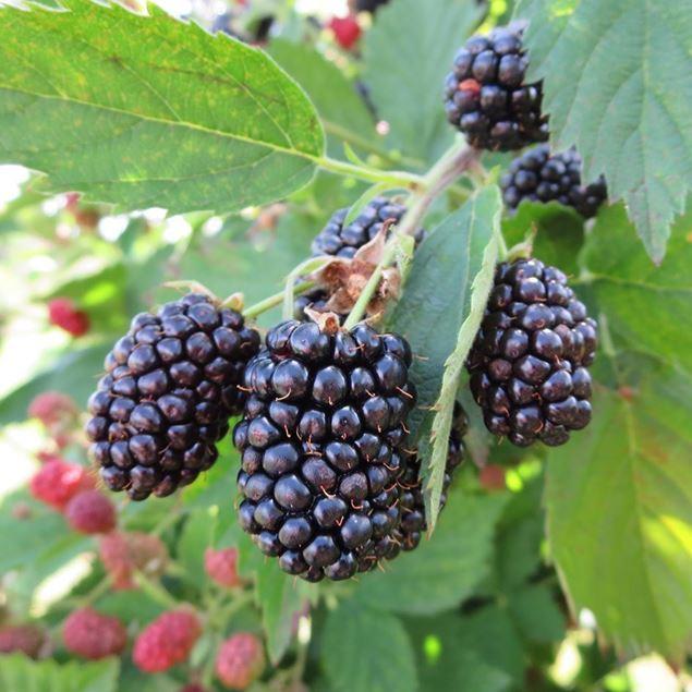 Bild von Brombeeren Pflanze NESSY® loch ness