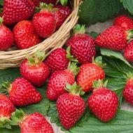 Bild von Erdbeeren Pflanze DIAMANTE 3x 6er Schale