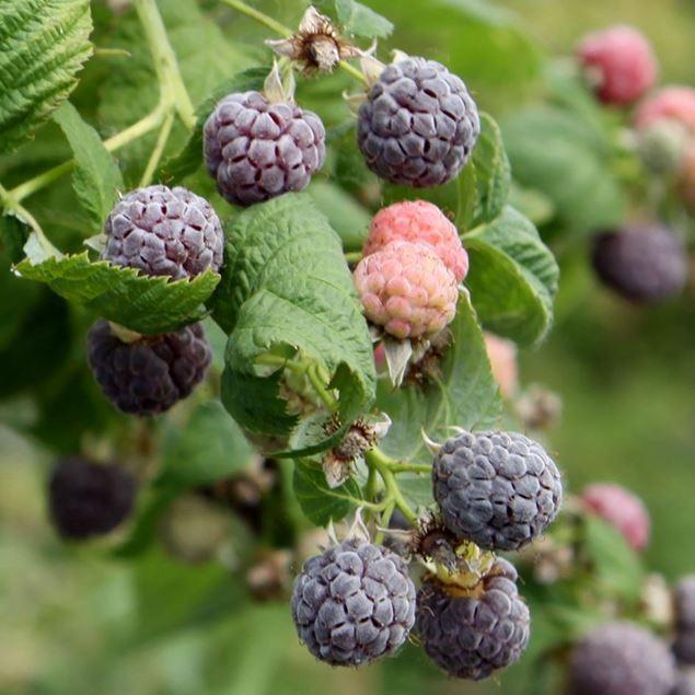 Bild von Himbeeren Strauch GLEN COE Purple 4 Stk.