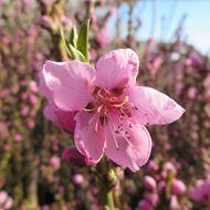 Bild von Mini-Nektarine Baum  RUBIS