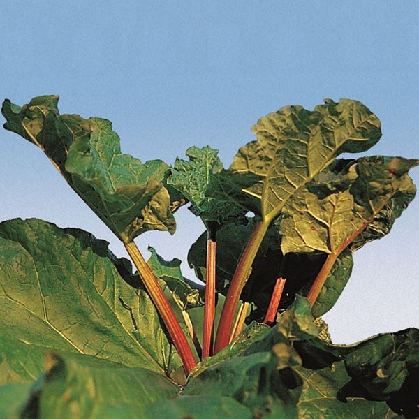 Bild von Rhabarber Pflanze