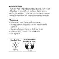 Bild von Himbeeren Strauch FALLRED streib2a 4 Stk.