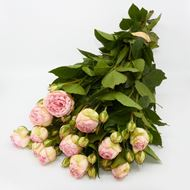 Image sur Rose champ 'Charming Piano' 10 pièces