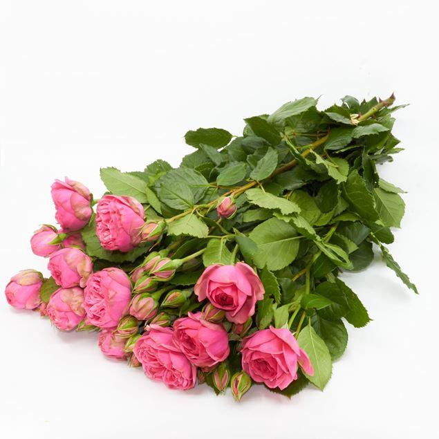 Image de Rose champ 'Pink Piano' 10 pièces