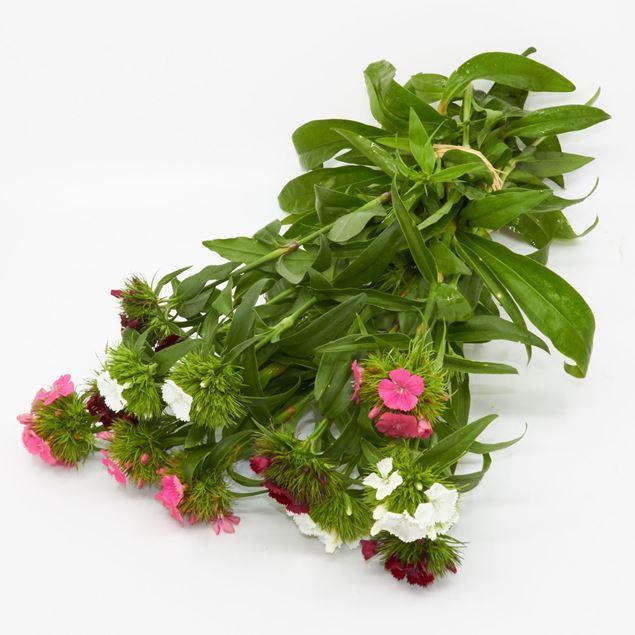Image de Dianthus 'fraîchement du jardinier' assorti 12 pièces