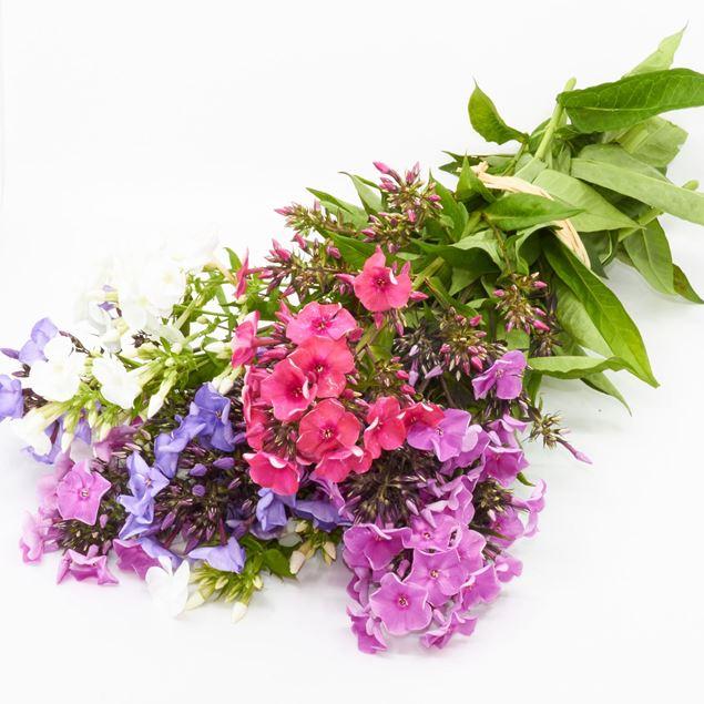 Image de Phlox 'fraîchement du jardinier' assorti 7 pièces