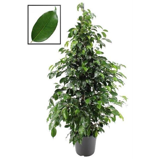 Bild von Ficus 24cm Ø  Höhe 120-130cm