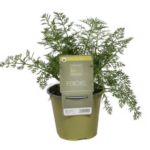 Image de Plante de fenouil 'SunnyHerbs' pot de 14cm