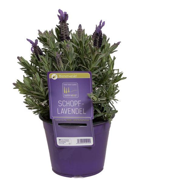Bild von Lavendel Stoechas 'SunnyHerbs' im 14cm Topf