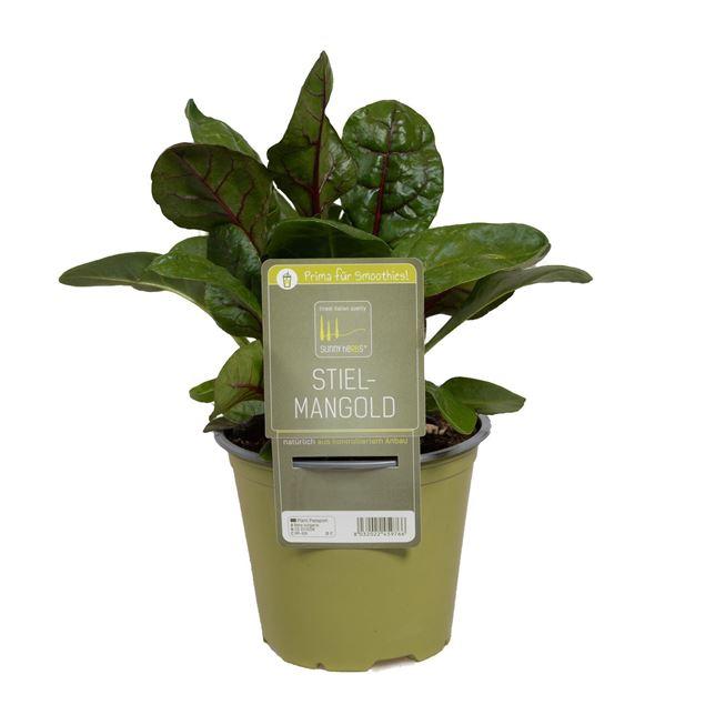 Image de Plante de bettes à carde 'SunnyHerbs' pot de 14cm