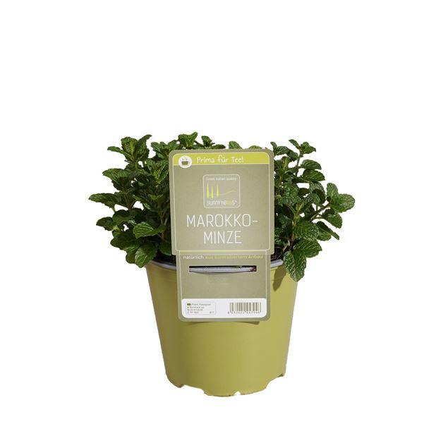 Image de Plante de menthe maroc 'SunnyHerbs' pot de 14cm