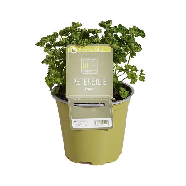 Image sur Plante de persil frisé 'SunnyHerbs' pot de 14cm