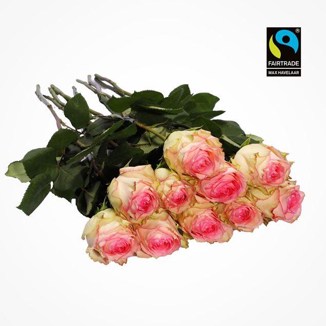 Edelrosen weiss/rosa 50cm 10 Stk - blume 3000