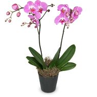 Rosa Orchidee (Phalaenopsis) im Cachepot, Medium
