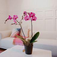 Rosa Orchidee (Phalaenopsis) im Cachepot, Premium