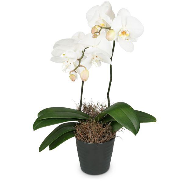 Weisse Orchidee (Phalaenopsis) im Cachepot, Medium
