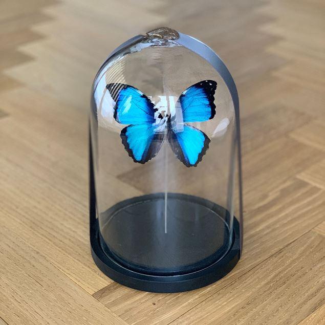 Echte präparierte Schmetterlinge, edel unter Glas Ø ca. 17 cm, H ca. 23 cm