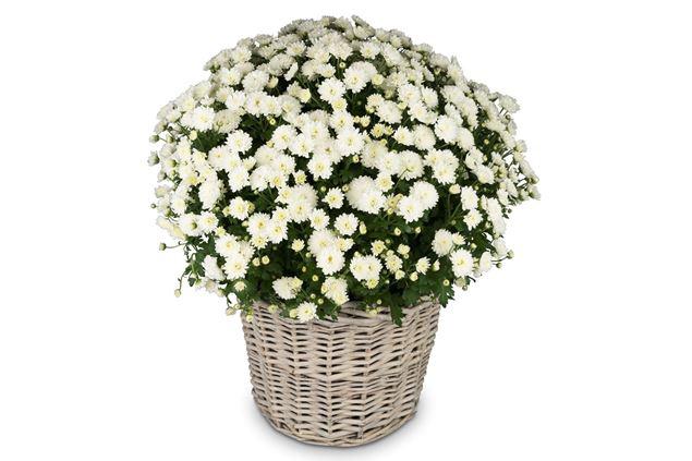 Chrysantheme Weiss im Korb Ø ca.32 cm H ca.40 cm
