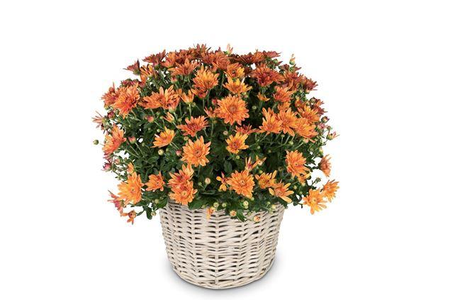 Chrysantheme Orange im Korb Ø ca.32 cm H ca.40 cm