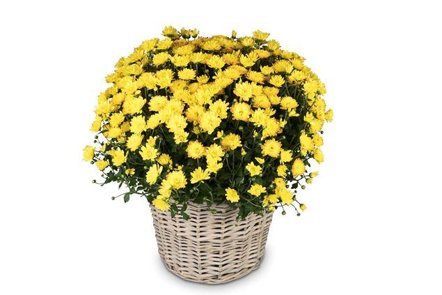 Chrysantheme Gelb im Korb Ø ca.32 cm H ca.40 cm