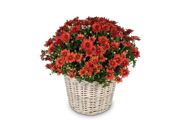 Chrysantheme Rot im Korb Ø ca.32 cm H ca.40 cm