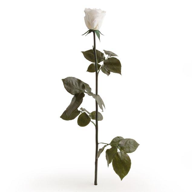 rose-stabilisée-blanche
