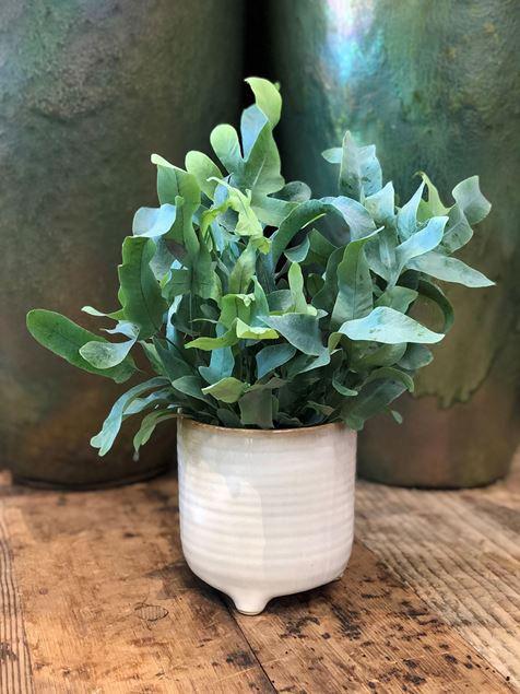 Phlebodium Blaufarn Pflanze im Keramik Gefäss Ø ca.13 cm H ca.30 cm