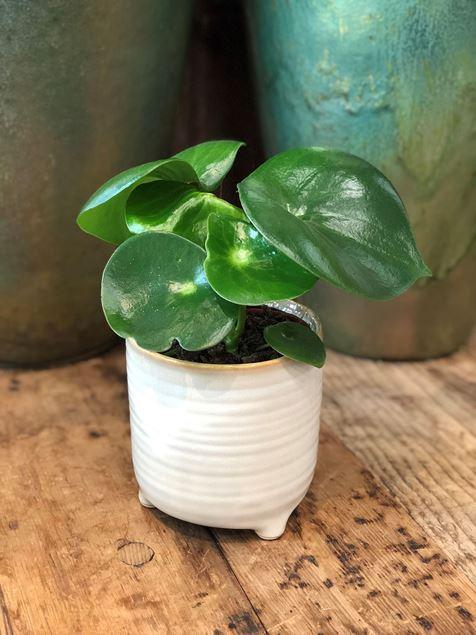 Pilea Pflanze im Keramik Gefäss Ø ca.13 cm H ca.24cm