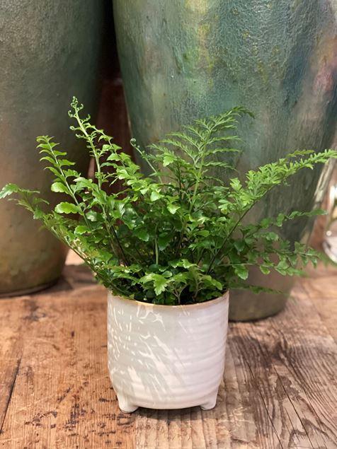 Athyrium Farn Pflanze im Keramik Gefäss Ø ca.13 cm H ca.35cm