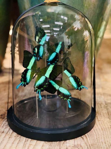Echte präparierte Schmetterlinge, edel unter Glas Ø ca. 22 cm, H ca. 28 cm