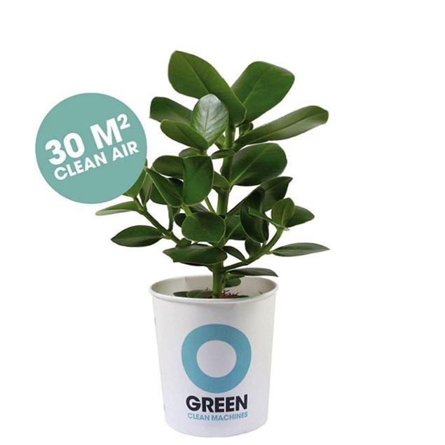 Champ / Clusia- Luftreinigende Pflanze