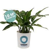 Survivor / Aglaonema - Luftreinigende Pflanze