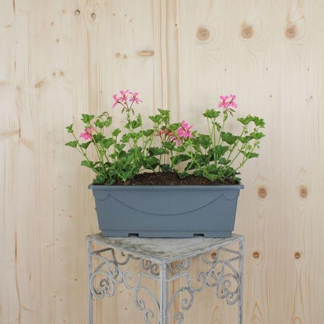 Pelargonium peltatum Blumenkiste 40 cm, rosa