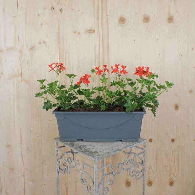 Pelargonium peltatum Blumenkiste 40 cm, rot