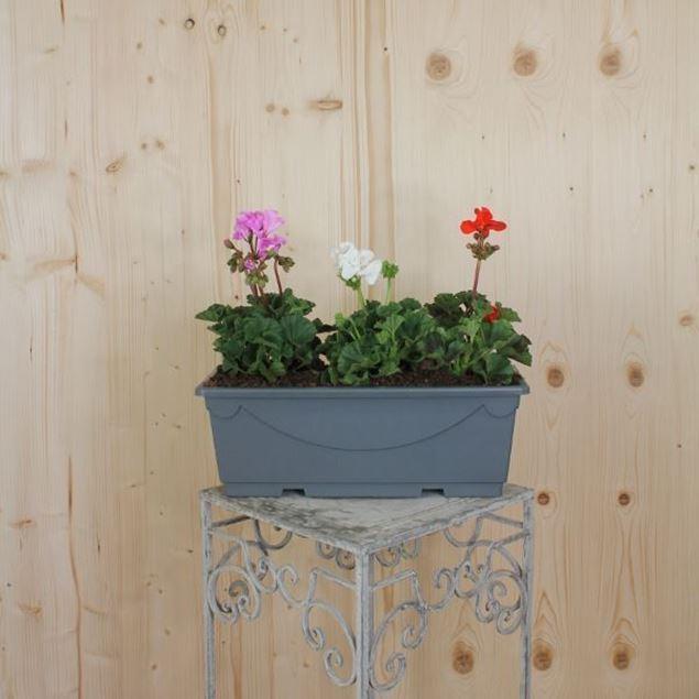 Pelargonium zonale Blumenkiste 40 cm, Farbenmix