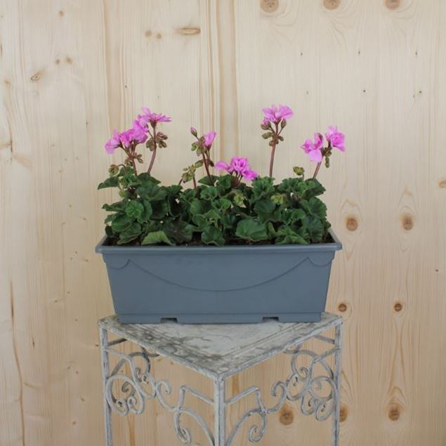 Pelargonium zonale Blumenkiste 40 cm, rosa
