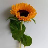 Schweizer Sonnenblumen 10 Stück ca. 60 cm